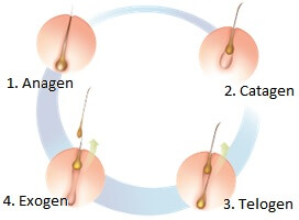 Image of the stages of hair growth on the body
